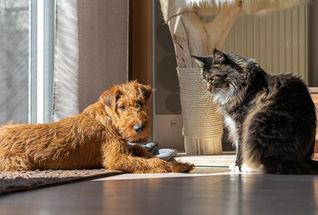 Irish Terrier und Katzen geht prima zusammen