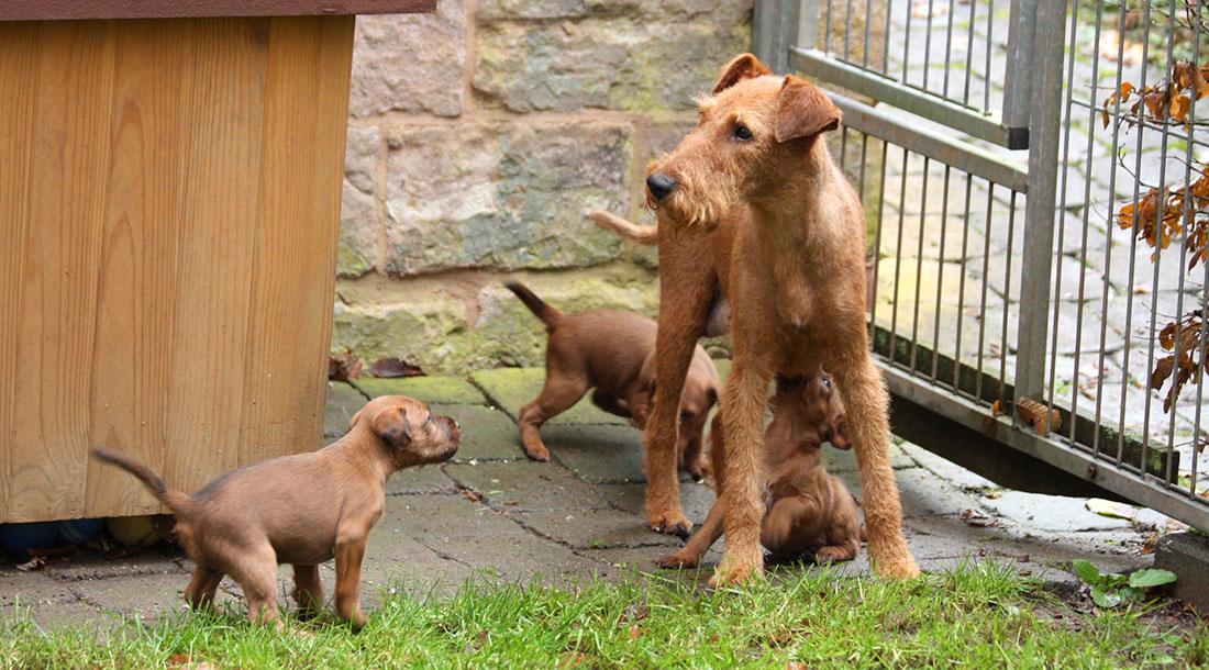 irish-terrier-wurf-woche5-3