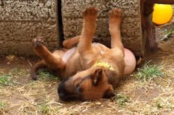 Irish Terrier Welpe chillt