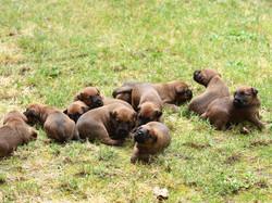 Irish Terrier Welpen zum esten mal im Auslauf