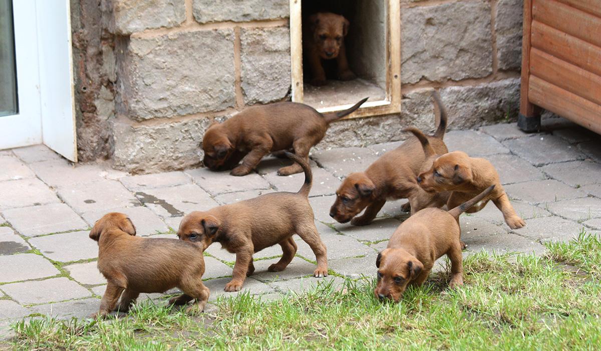 Im Irish Terrier Welpenauslauf geht es rund