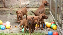 irish-terrier-welpen-woche6-9