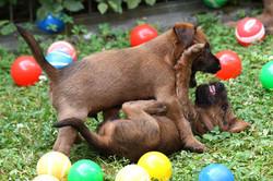 Irish Terrier Welpen raufen zusammen