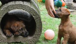 2 Irish Terrier Welpen im Auslauf mit ihrem Züchter