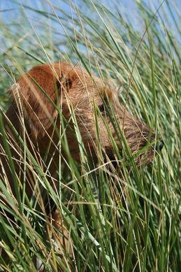 Irish Terrier lieben die freie Natur