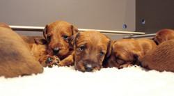 irish-terrier-welpen-woche4-3