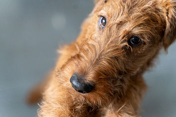 Irish Terrier Eddy