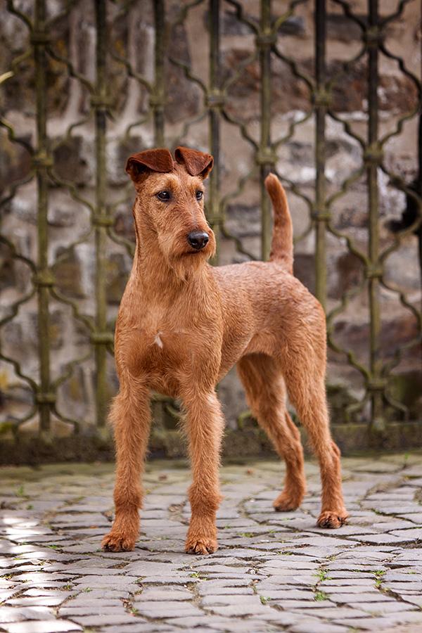 Irish Terrier Hündin OH! Patrick Caramel's American Deam, Frontansicht