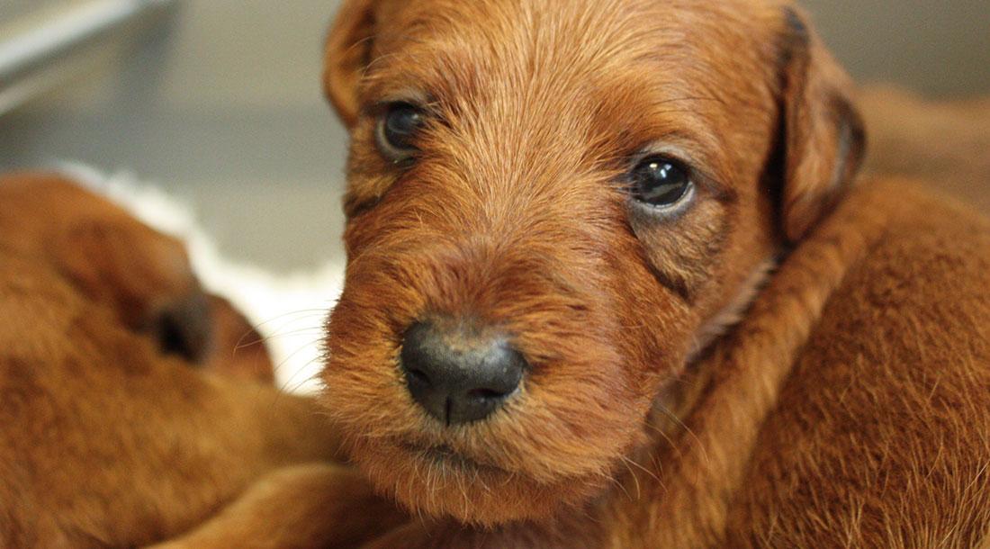 irish-terrier-welpen-woche4-6