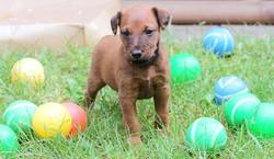 Roter Irish Terrier im Bällebad