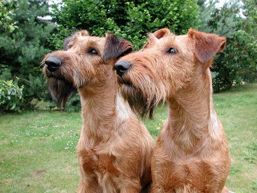 Doppelporträt zweier Irish Terrier Hündinnen