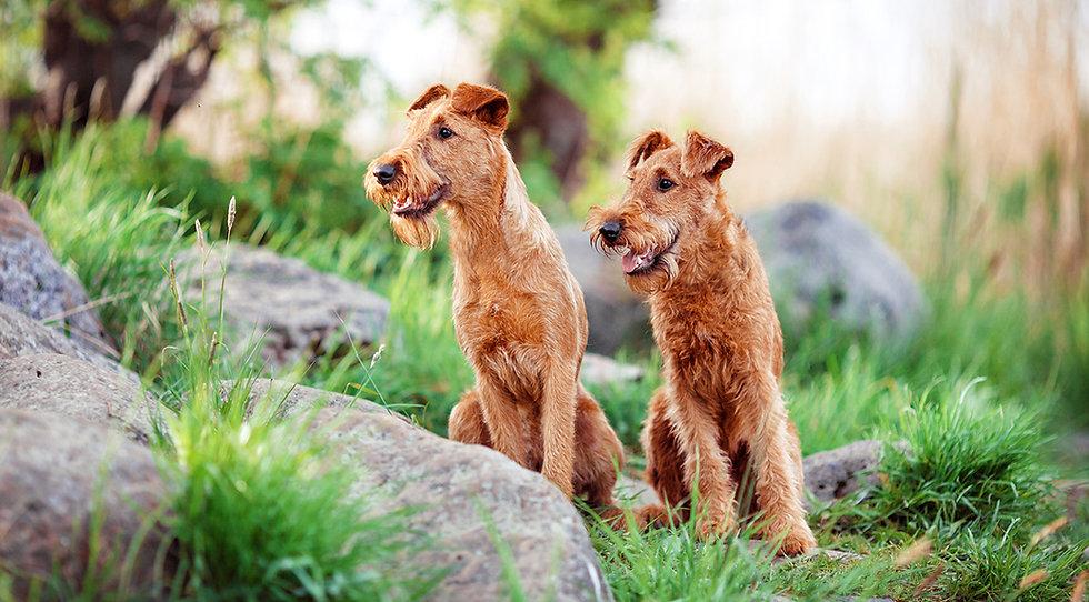 Irish Terrier sind eine durchweg robuste Rasse mit guter Gesundheit