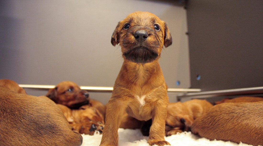 irish-terrier-welpen-woche4-2