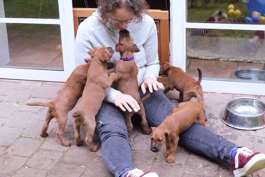 Irish Terrier Welpen sind neugierig