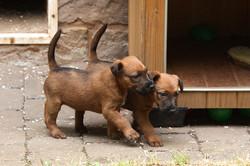2 schöne rote Irish Terrier Welpen