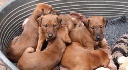 irish-terrier-welpen-woche6-2