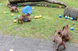 Großzügiger Welpenauslauf für unsere Irish Terrier Welpen