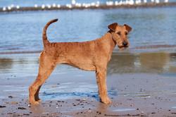 Irish Terrier Hündin Caramel's Valiant Vilma, Seitenansicht