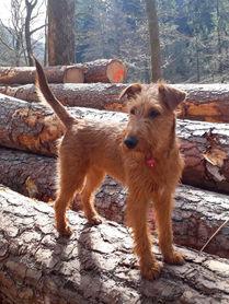 Irish Terrier lieben ausgedehnte Spaziergänge im Wald