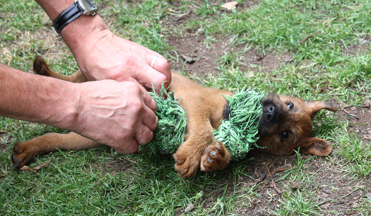 Irish Terrier Welpe wird liebevoll bespaßt
