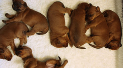 irish-terrier-welpen-woche3-16