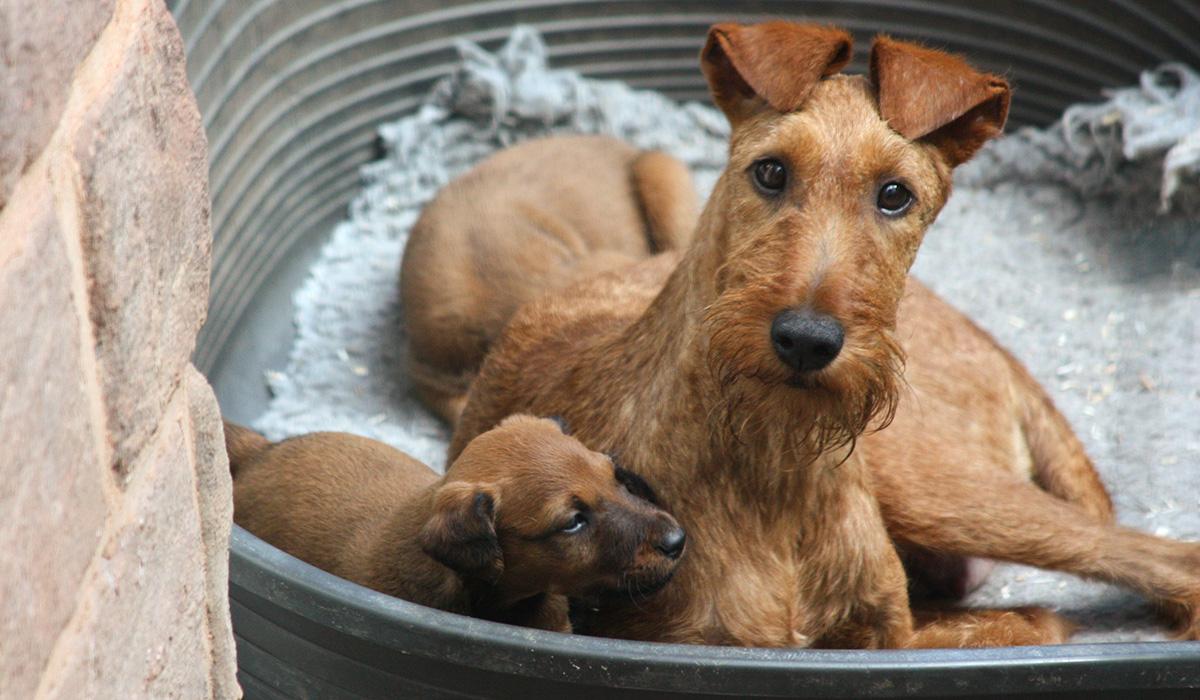 Stolze Irish Terrier Mama mit ihrem Nachwuchs