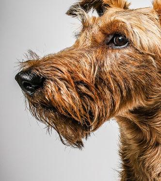 Gina, ein Irish Terrier Mädchen mit eignem Kopf