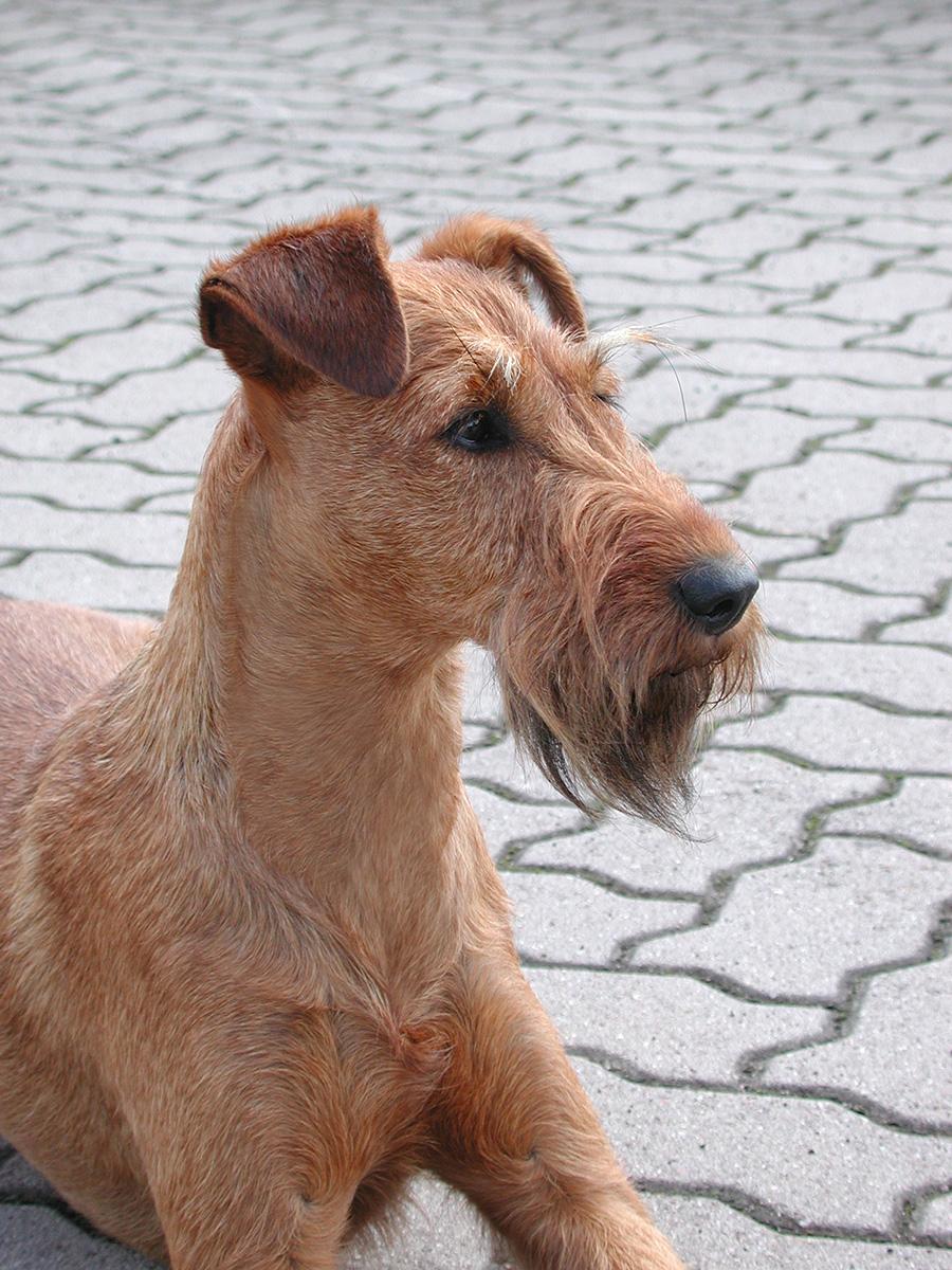 Irish Terrier Hündin Caramel vom Eulenhof, Porträt