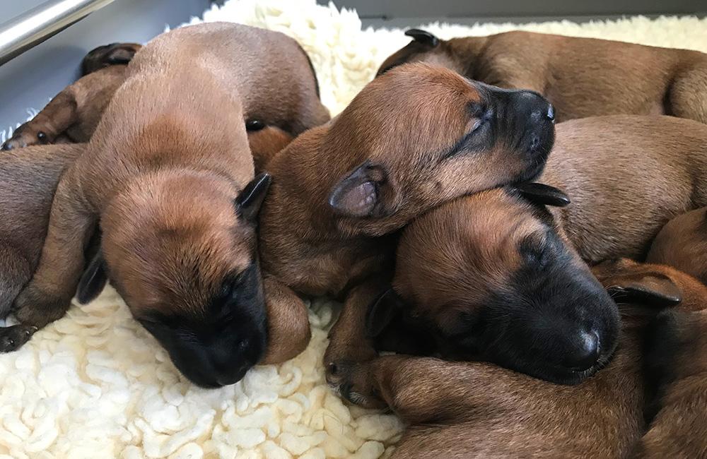 2 Wochen alte Irish Terrier Welpen