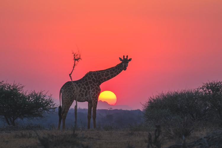 jabulani-wildlife-giraffe-sunset.jpg