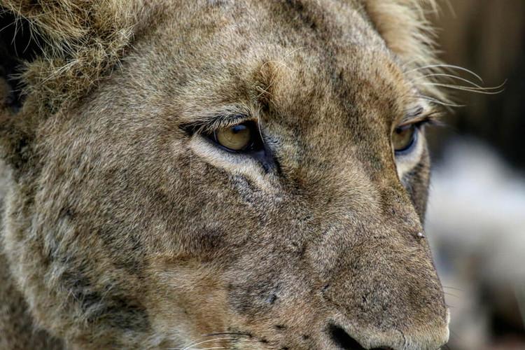 jabulani-wildlife-close-up-lion.jpg