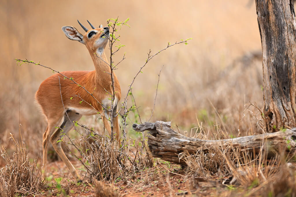 jabulani-wildlife-steenbok.jpg