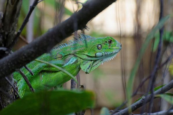 Iguane vert.jpg