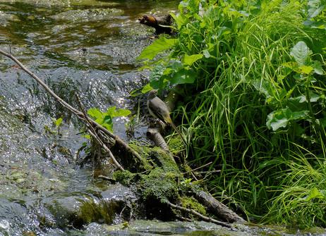 Bergeronnette des ruisseaux-(7).jpg