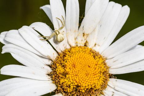 Thomise (araignée crabe)