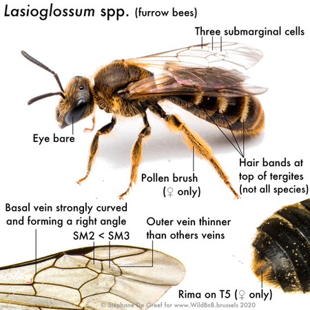 17_Lasioglossum.jpg