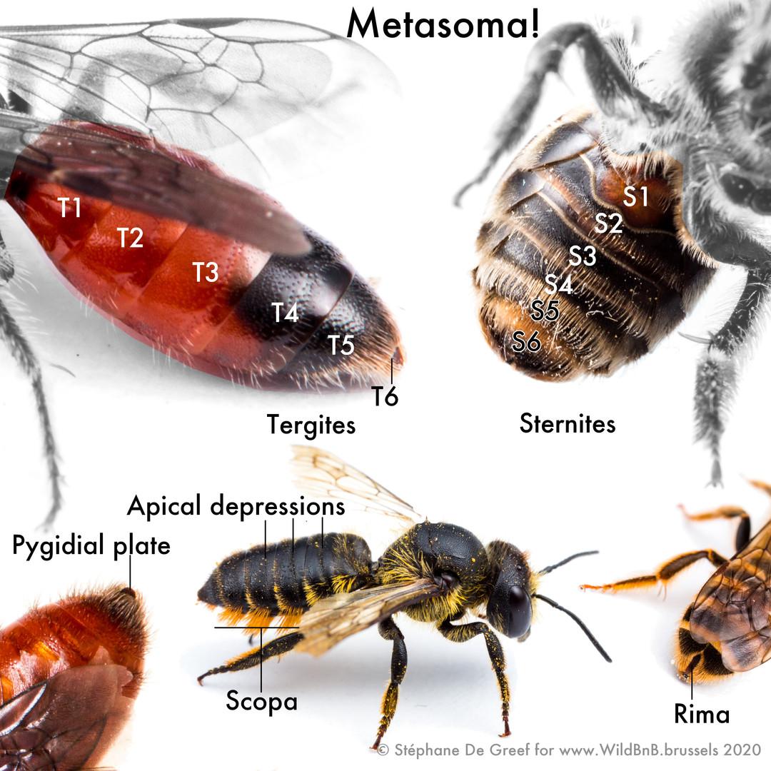 07_Metasoma.jpg