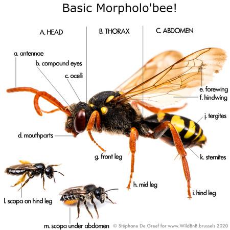 02_MorpholoBee.jpg