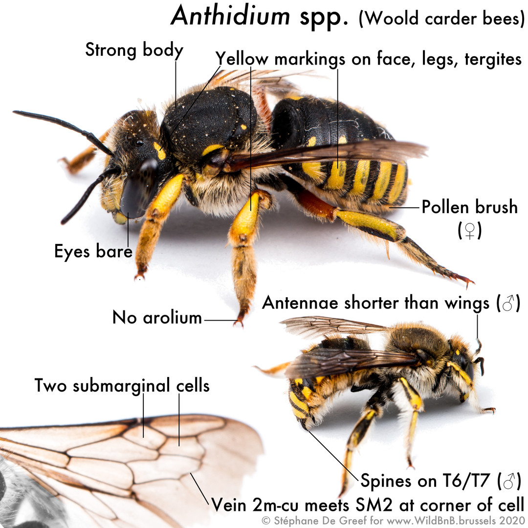 27_Anthidium.jpg
