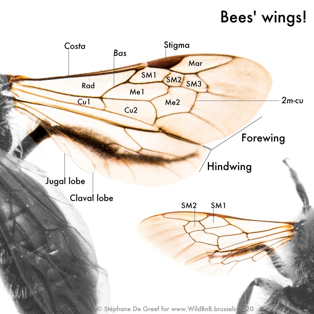 05_Beewings.jpg