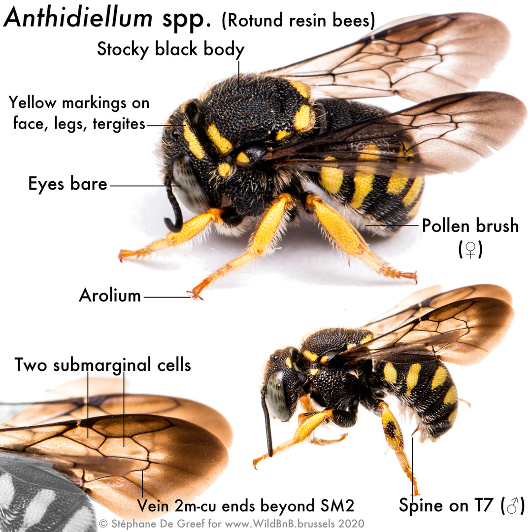 30_Anthidiellum.jpg