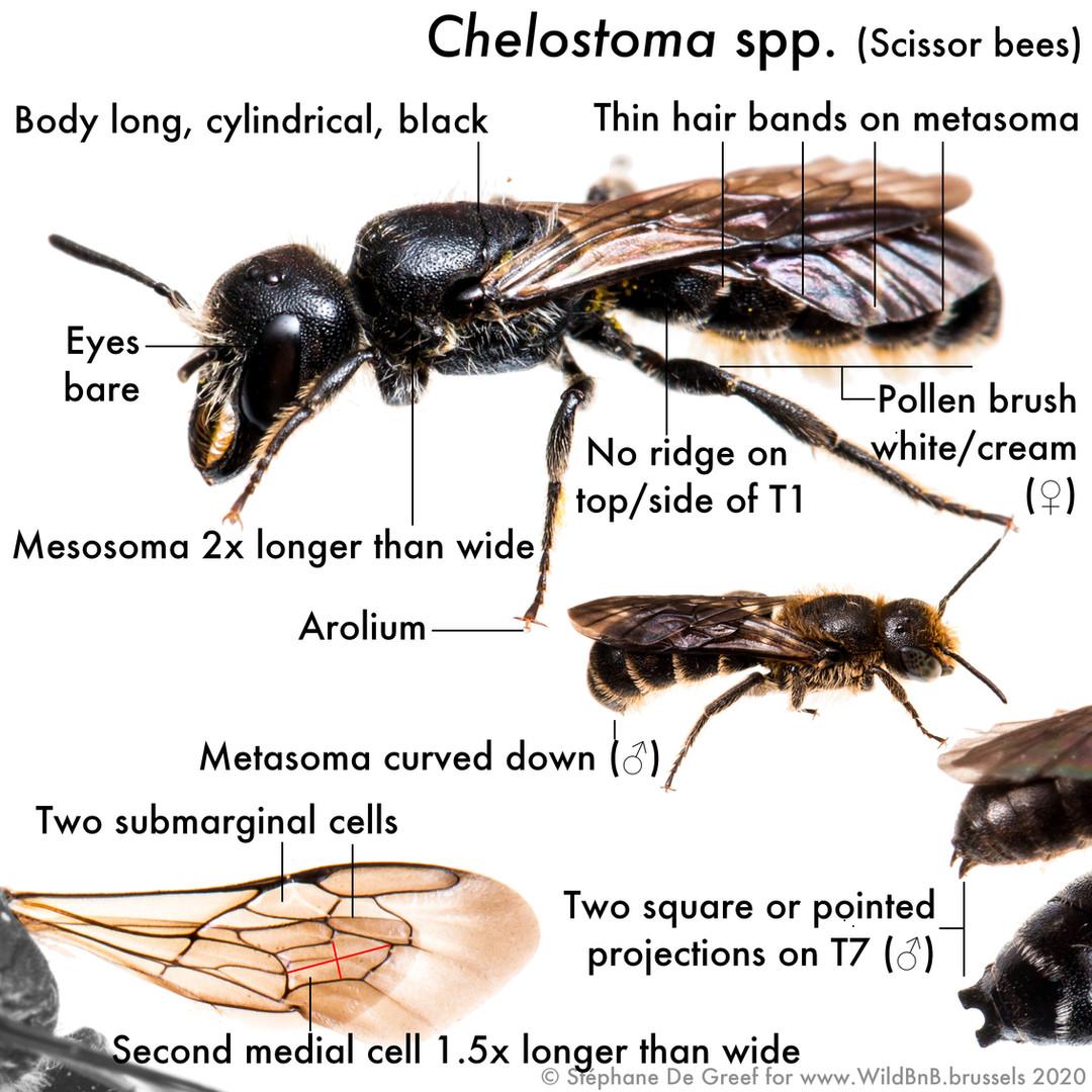 24_Chelostoma.jpg