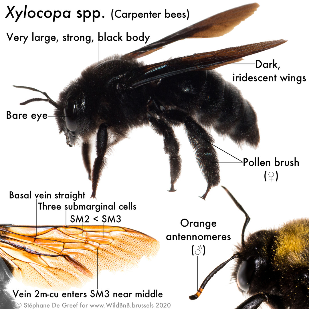 38_Xylocopa.jpg