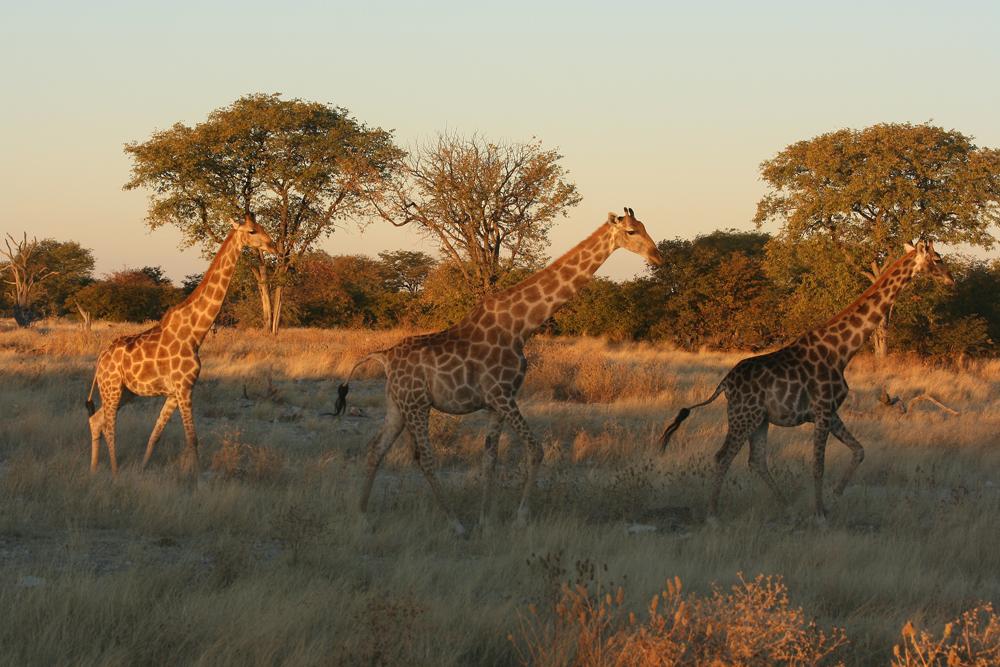 크루거 국립공원에서 만난 기린들