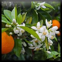 Fleur d'Oranger   Soins et hygiène bébé   Forever Living Products