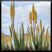 Aloe Vera Barbadensis Miller | Aloe Capensis