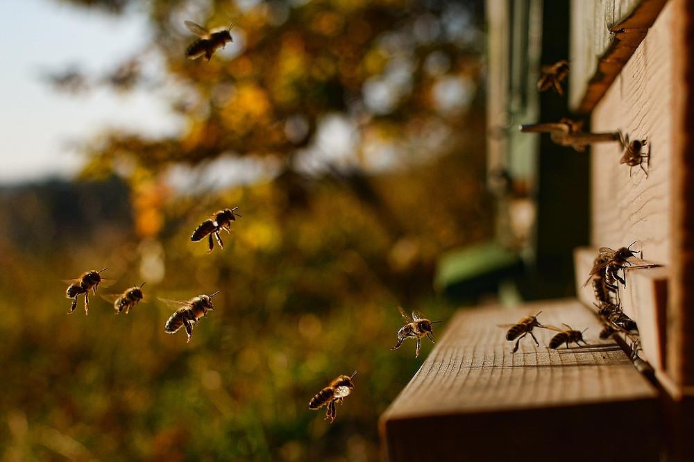 Propolis à l'entrée de la ruche