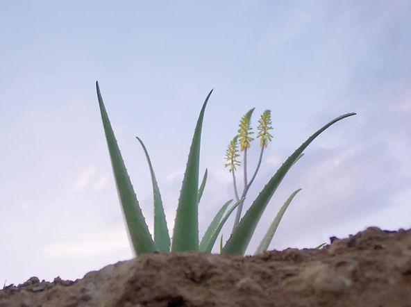 De la plante Aloe Vera aux produits Forever jusqu'a vous !  Découvrez comment Forever Living Product cultive sa matière premiere !  L'aloe Vera Forever