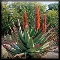 Cape aloes ou Aloe Ferox