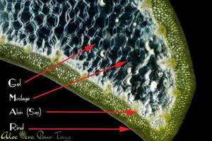 Décomposition des différentes parties de l'aloe vera